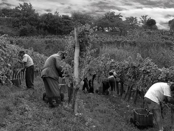 musta suku puoli viini köynnöksiä