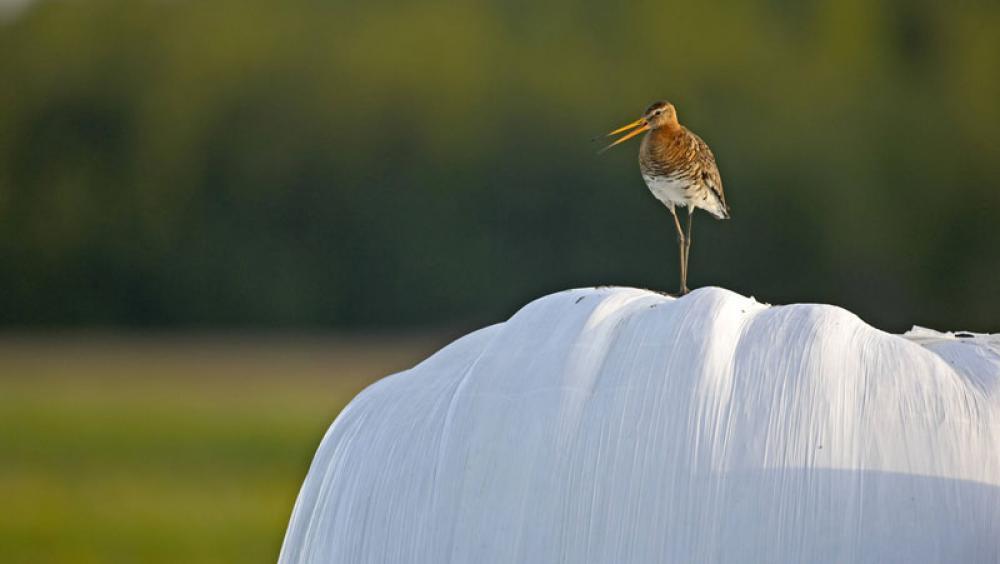 Lintu heinäpaalilla