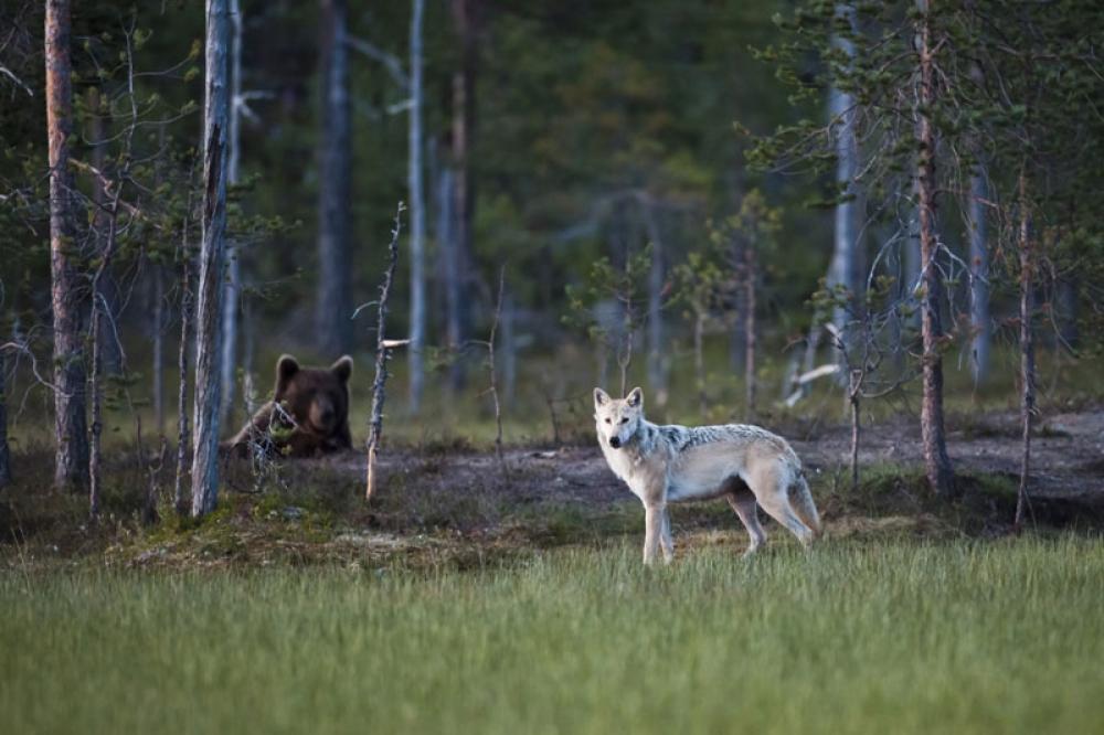 Susi ja karhu metsässä