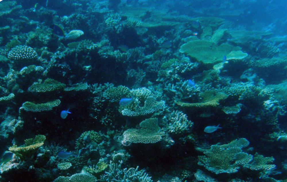 Korallia