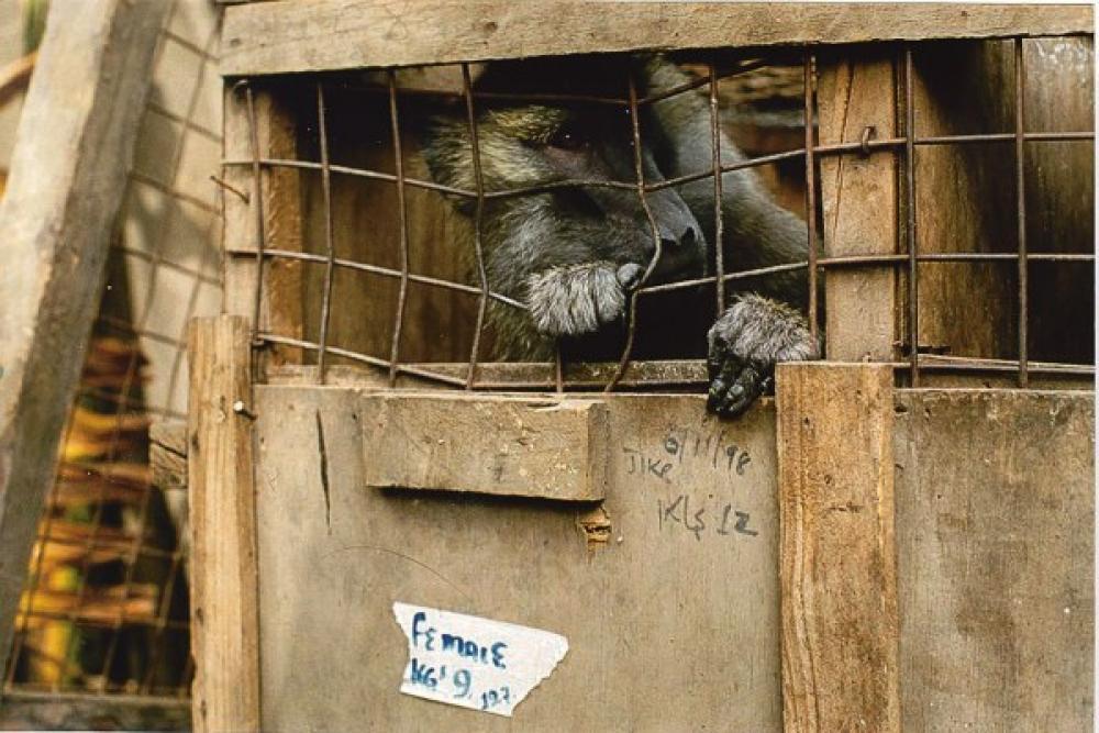 Apina häkissä.