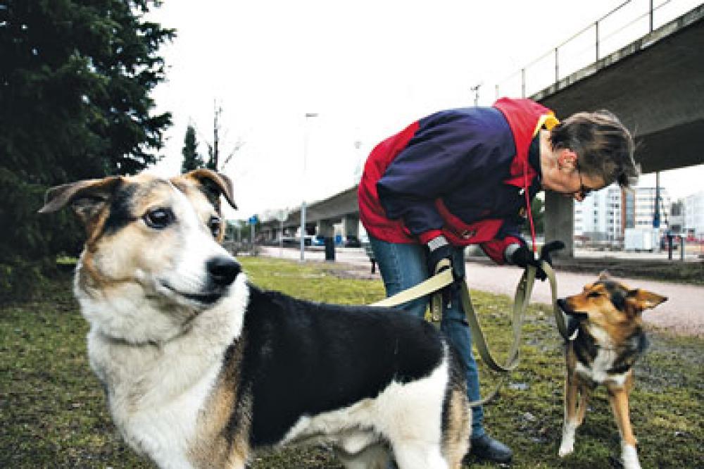 Kirsi Mändi ulkoiluttamassa koiriaan.