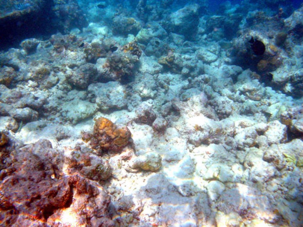 Korallia pulassa.
