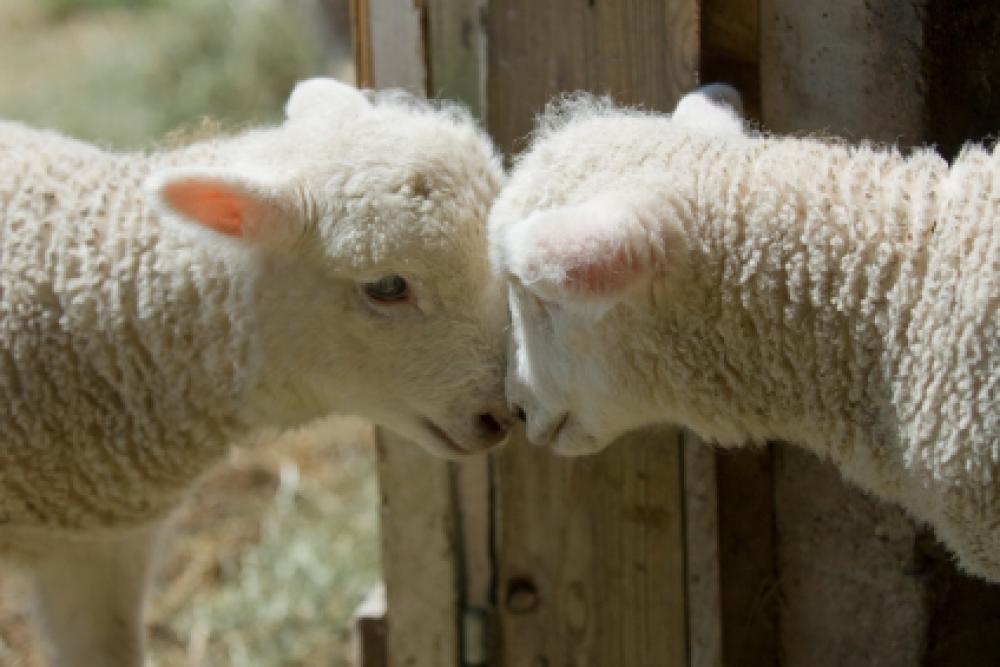 Kaksi lammasta.