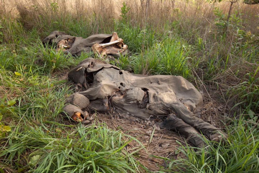 Kuolleita norsuja.