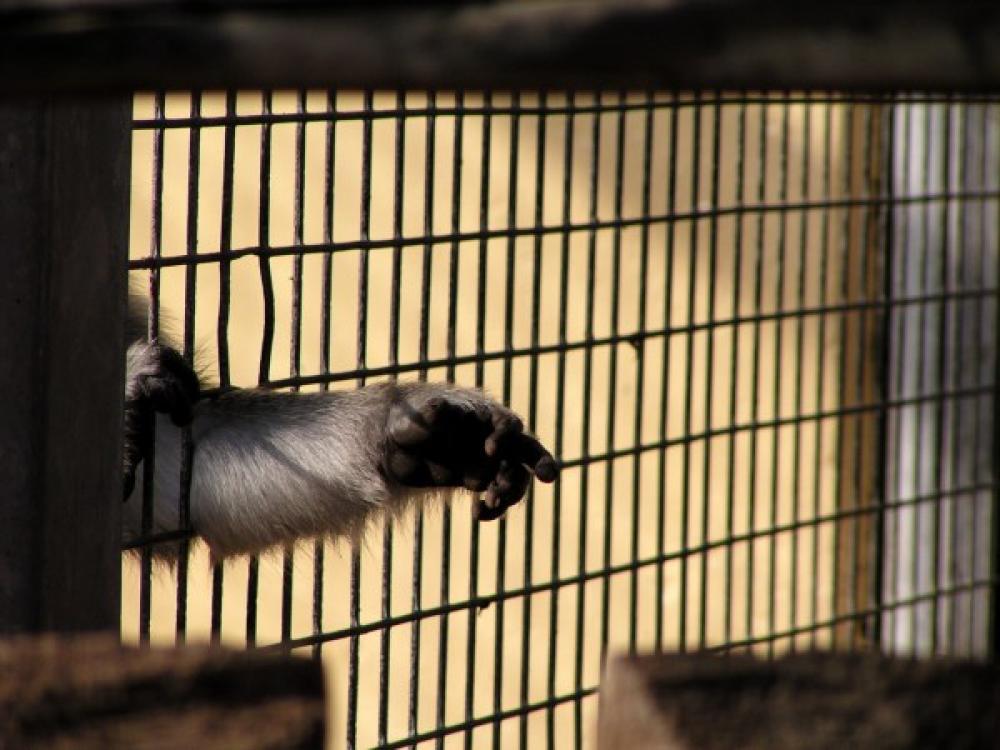 Apinan käsi kurottaa häkistä.