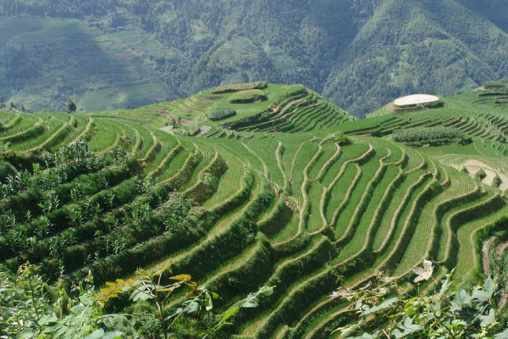 Riisiviljelyksiä Kiinassa.