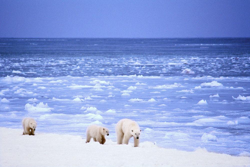 Jääkarhuja